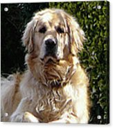 Dog On Guard Acrylic Print