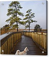 Shiba Inu On Path Acrylic Print