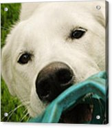 Dog Playing With Blue Ball Acrylic Print