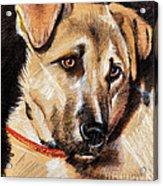 Dog Portrait Drawing Acrylic Print