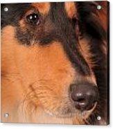 Dog Portrait Acrylic Print