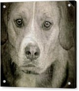 Dog Posing Acrylic Print