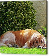 Dog Relaxing Acrylic Print