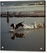 Dog Running Acrylic Print