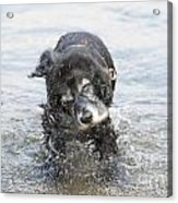 Dog Shake Acrylic Print