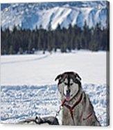 Dog Team Acrylic Print by Duncan Selby