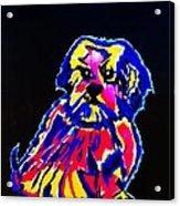 Dog Tibetin Lhasa Apsos  Acrylic Print