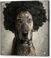 Dog With A Crazy Hairdo Acrylic Print
