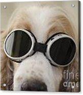 Dog With Eyeglasses Acrylic Print