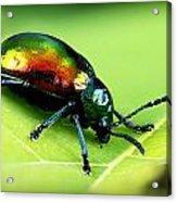 Dogbane Beetle Acrylic Print