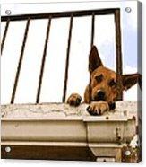 Doggie Down Time Acrylic Print