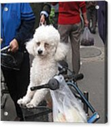 Doggie In The Basket Acrylic Print