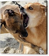 Dogs Fight On The Beach In Emerald Acrylic Print