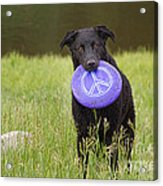 Dogs For Peace Too Acrylic Print