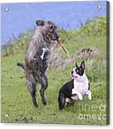 Dogs Playing With Stick Acrylic Print