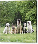 Dogs, Various Breeds In A Line Acrylic Print