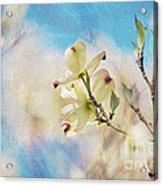 Dogwood Against Blue Sky Acrylic Print