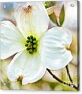 Dogwood Blossom - Digital Paint I  Acrylic Print