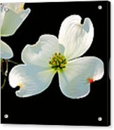 Dogwood Blossoms Painted For Jerry Acrylic Print