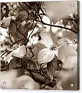 Dogwood Blossoms Acrylic Print by Sharon Popek