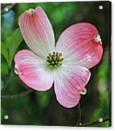 Dogwood Blosssom Acrylic Print
