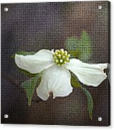 Dogwood Acrylic Print by Cindy Rubin