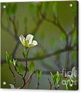 Dogwood II Acrylic Print