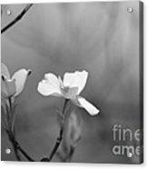 Dogwood IIi    Black And White Acrylic Print