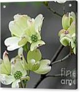 Dogwood In Bloom Acrylic Print