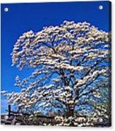 Dogwood In Bloom Acrylic Print