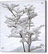 Dogwood In Snow Acrylic Print