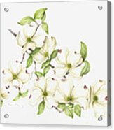 Dogwood In Spring Acrylic Print