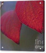 Dogwood Leaves In Fall Acrylic Print