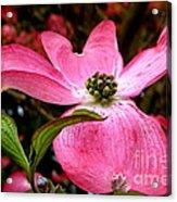 Dogwood Shows Pink Acrylic Print