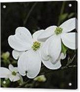Dogwood Tree Blooms Acrylic Print