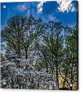 Dogwoods And Dramatic Sky Acrylic Print