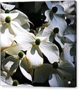 Dogwoods Caught In Central Park Acrylic Print