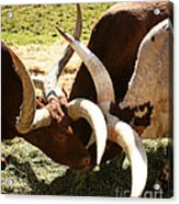 Doing The Watusi Acrylic Print