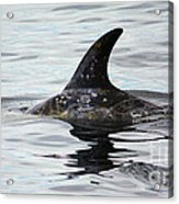 Dolphin In Monterey Acrylic Print