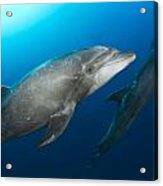 Dolphin Time Acrylic Print