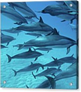 Dolphins Spinners Acrylic Print