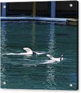 Dolphins Swimming Upside Down As Part Of Show Acrylic Print