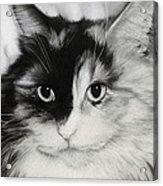 Domestic Cat Acrylic Print by Natasha Denger
