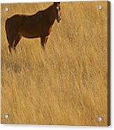 Domestic Horse   #5347 Acrylic Print