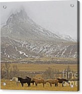 Domestic Horses   #2645 Acrylic Print