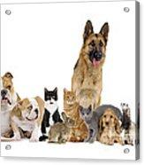 Domestic Mammal Pets Acrylic Print