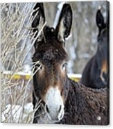 Donkey And The Mule Acrylic Print