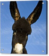 Donkey Foal Acrylic Print