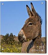 Donkey In Greece Acrylic Print