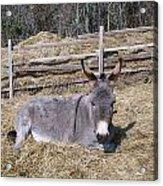 Donkey In Hay Acrylic Print